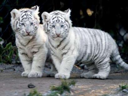 File:Tigercubs.jpg