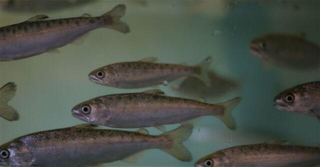 File:Lovia - Coho Salmon.jpg