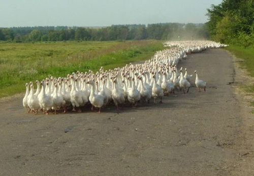 File:Funny-ducks-crowd-road large.jpg
