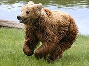 250px-Brown bear (Ursus arctos arctos) running