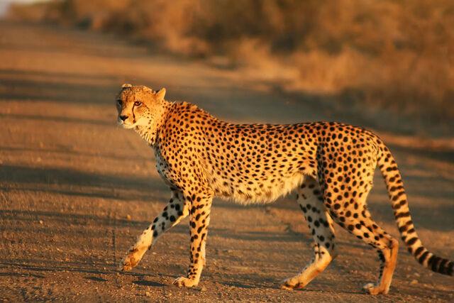 File:Cheetah Kruger.jpg