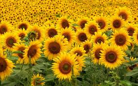 File:The sun flowers.jpg