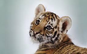 File:Tiger12.jpg