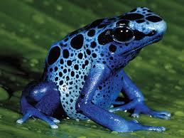File:Plue Poison Dart Frog.jpg