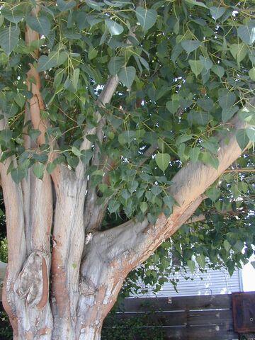 File:TreeTrunk.jpg
