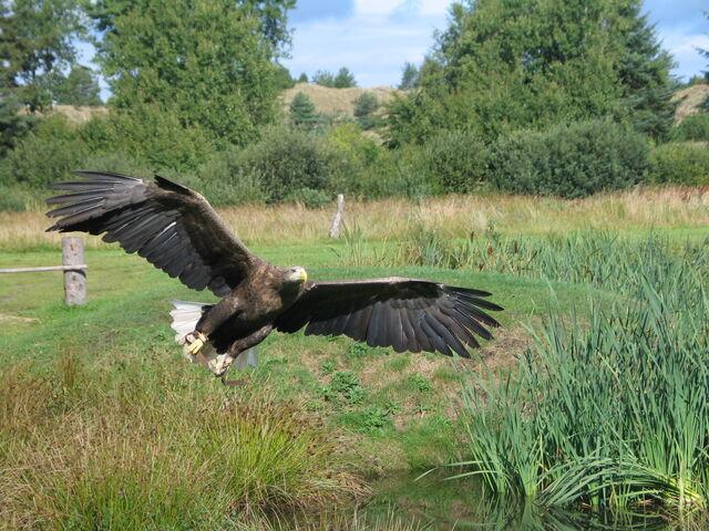 File:Eagle In Flight 2004-09-01.jpg