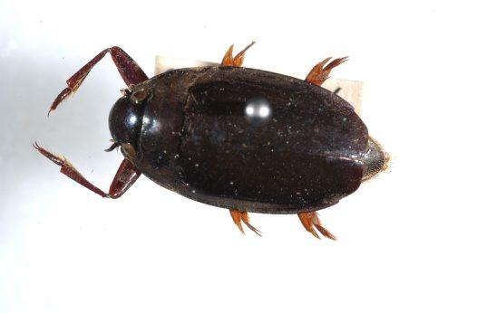 File:Whirligig Beetle.jpg
