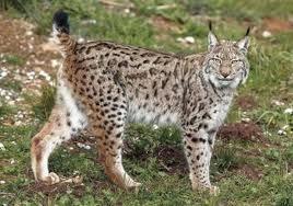 File:Iberian Lynx.jpg
