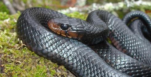 File:Eastern Indigo Snake.JPG