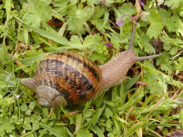 File:Garden snail.jpg