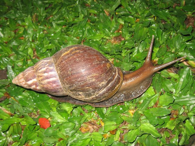 File:East African Land Snail.jpg