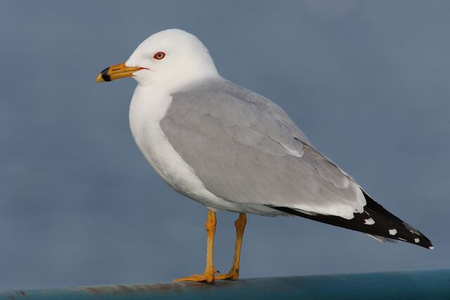 File:Ring Billed Gull.jpg