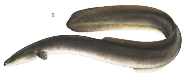 File:American Eel.jpg