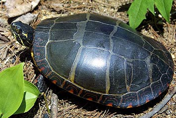 File:Painted-Turtle-1 Young.jpg