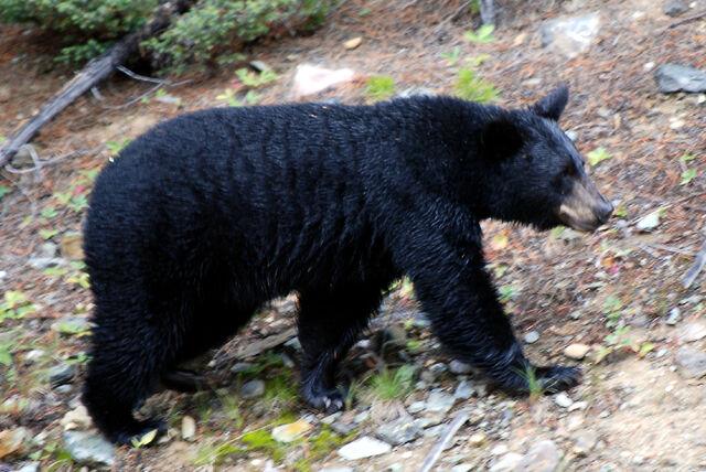 File:Canadian Rockies - the bear at Lake Louise.jpg