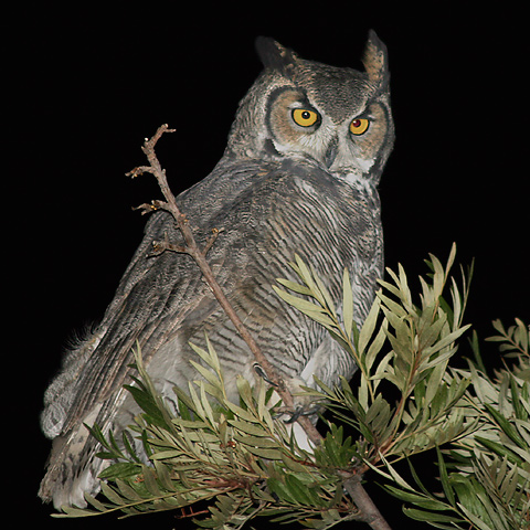 File:Great-horned-owl-tree.jpg