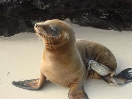 File:Galápagos Sea Lion.jpg