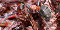Hairy Wood Ant
