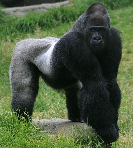 File:Western Gorilla.jpg