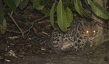Sunda Clouded Leopard