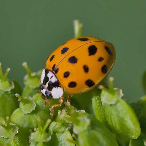 File:Asian lady beetle.jpg