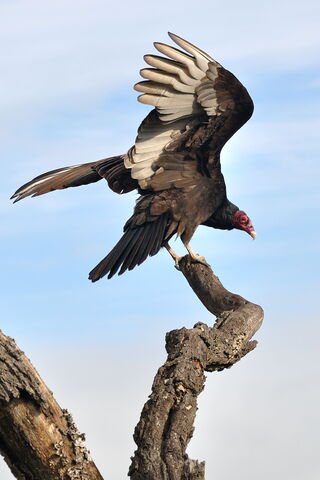 File:Turkey Vulture.jpg