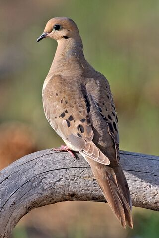 File:Mourning Dove.jpg