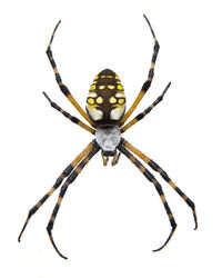 Garden Spider - Isolated 2152104