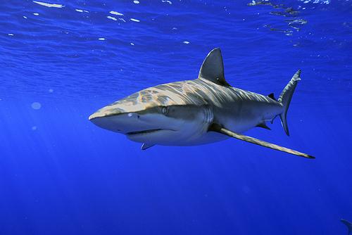 File:Galapagos Shark.jpg