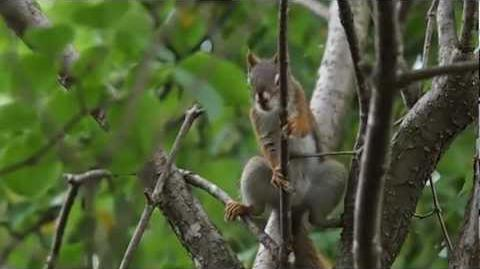 Upset North American Red Squirrel