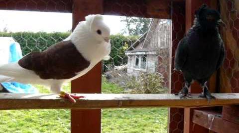 Pigeon sounds
