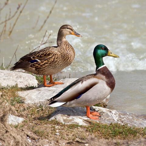 File:Mallard duck.jpg