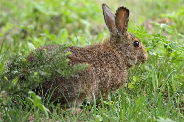 File:Summer Snowshoe Hare.jpg