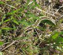 Zauneidechse (Lacerta agilis) 25. April 2010