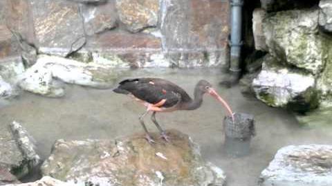 Unbekannter Vogel, evtl. Sichler im Zoo Augsburg - 04. Mai 2013