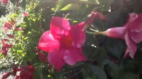 Brasiljasmin (Mandevilla sanderi)(Blüte) im Botanischen Garten Augsburg - 26. Juli 2013