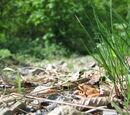 Grasfrosch (Rana temporaria) 16. Mai 2010