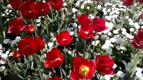 """Triumph-Tulpen """"Red Present"""" (Tulipa) im Botanischen Garten Augsburg - 24. April 2014"""