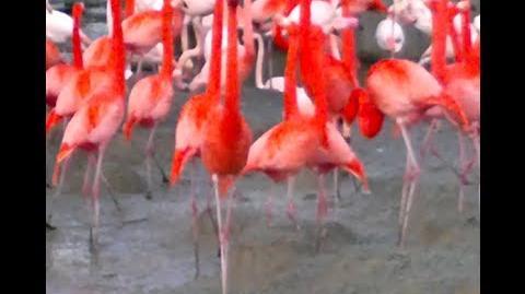 Roter Flamingo oder Kuba-Flamingo (Phoenicopterus ruber) im Zoo München - 22. Februar 2014