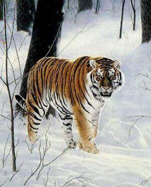 Siberian tiger cf1