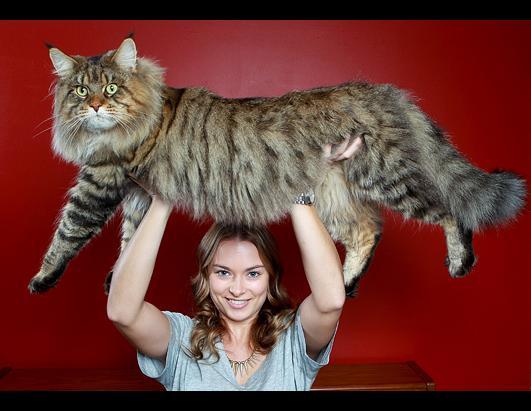 File:Rex rupert fat cat ss jt 120610 ssh.jpg