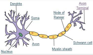 File:Neuron.jpg
