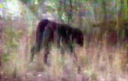 File:Panther bluemountains1-420x0.jpg
