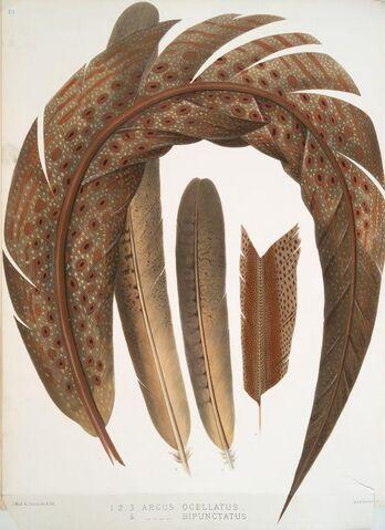 File:Argus ocellatus & Argus bipunctatus.jpg