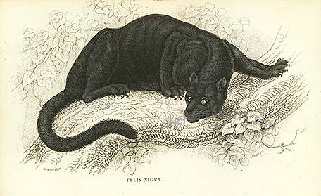 File:Black puma.jpg