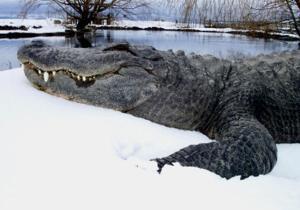 300px-Snow gator