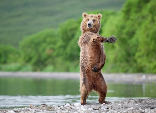File:Macarena-bear.jpg