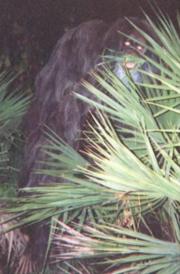 220px-Myakka skunk ape 1