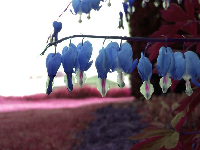 File:Blue bleeding hearts by smiling x within.jpg