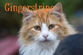 Gingerstripe
